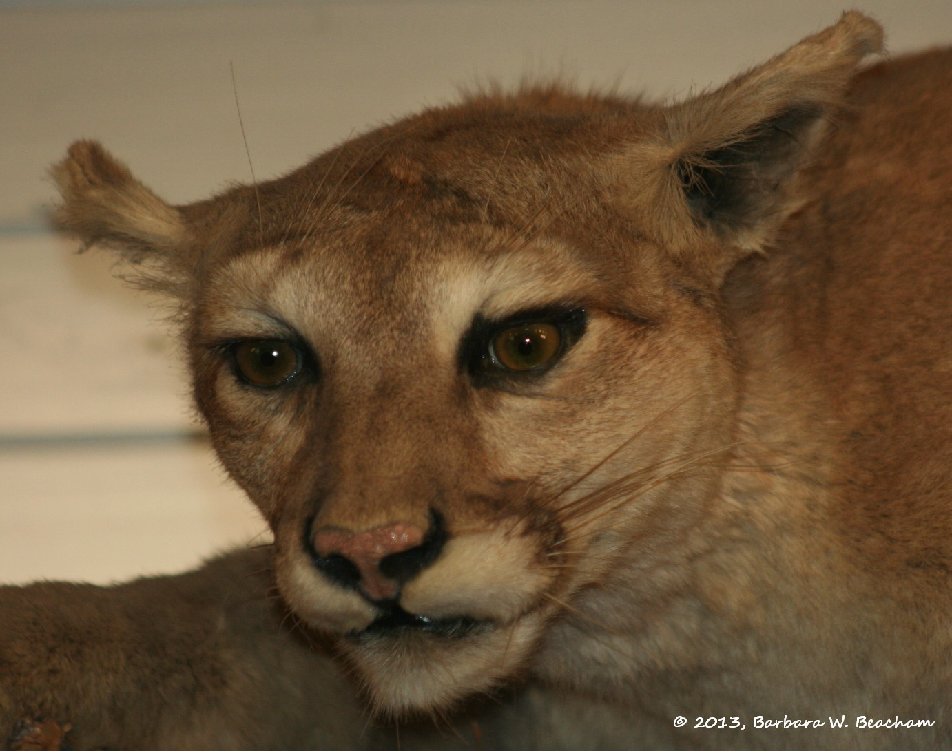Mountain lion face - photo#14