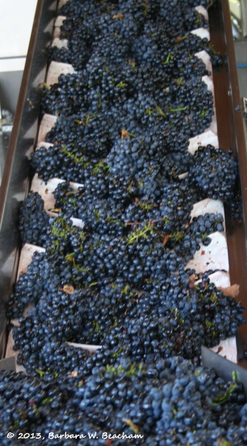 Primitivo on its way to the de-stemmer