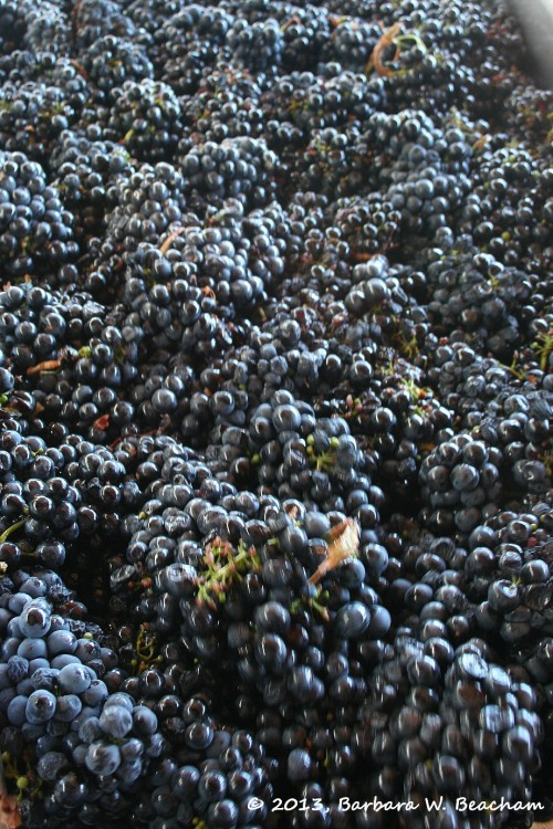 Primitivo on the sorting table