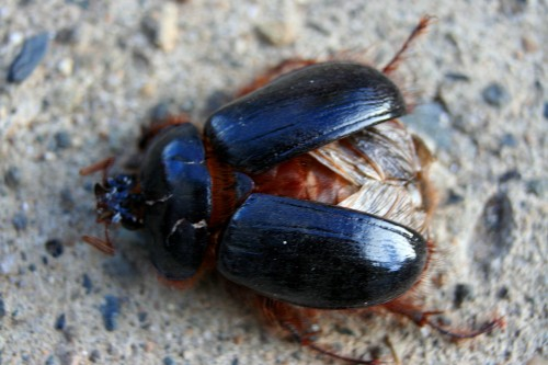 Meet the Fimbriate Rain Beetle