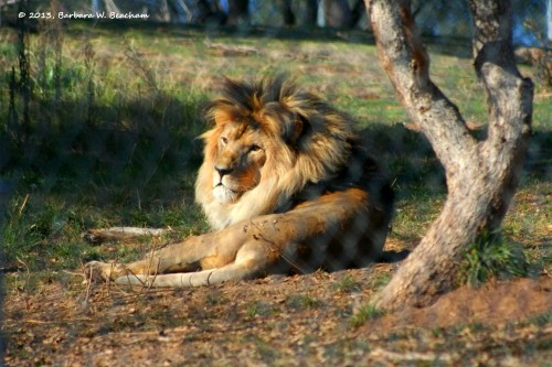 One of the lions wakes up