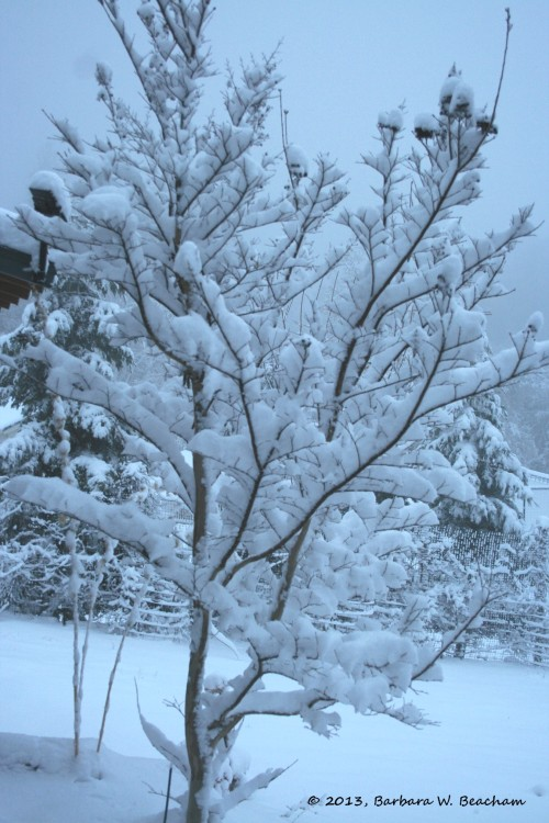 Snow on the Crepe Myrtle