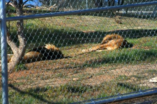 Two sleeping lions