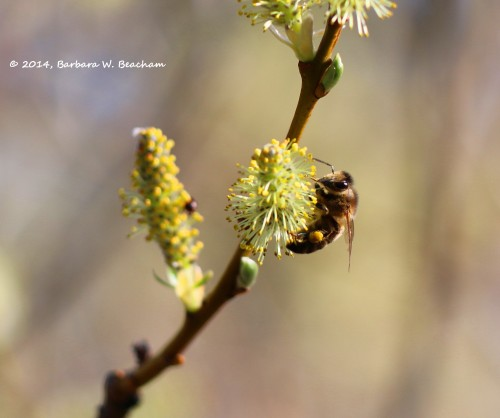 A ball of pollen adorns the bees leg