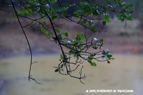 Rain drips off an oak