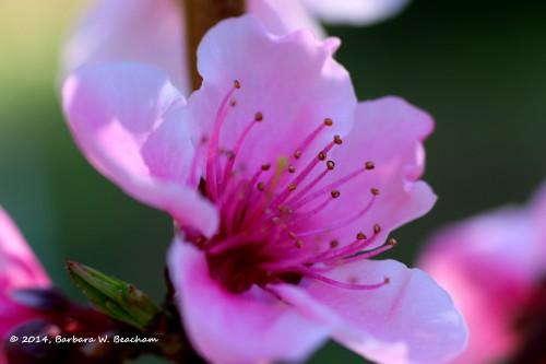 A lovely nectarine blossom