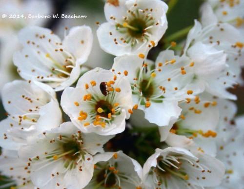Crawling inside a plum blossom