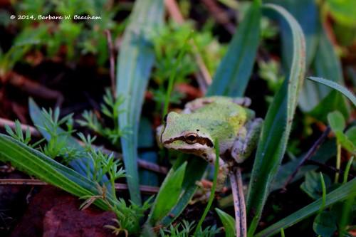 Green Pacific Chorus Frog