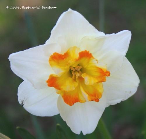 Inside a daffodil!