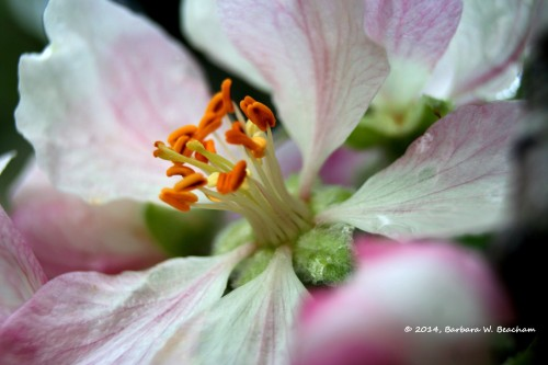 The inside scoop of an apple blossom