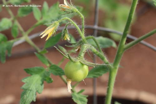 First tomato - Celebrity