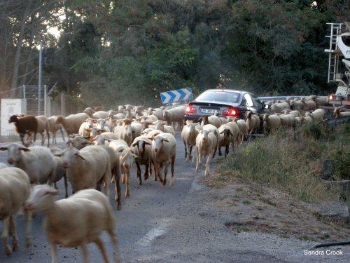 Goats - Photo by Sandra Crook