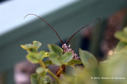 Long antennae