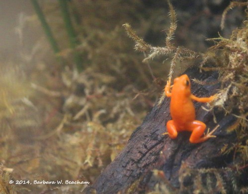 One heck of an orange frog!
