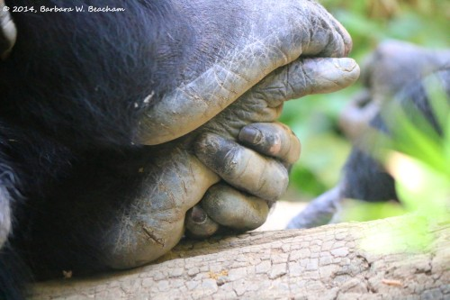 Pretty Feet of a Chimpanzee