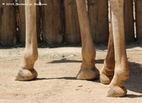 Pretty Feet of a Giraffe