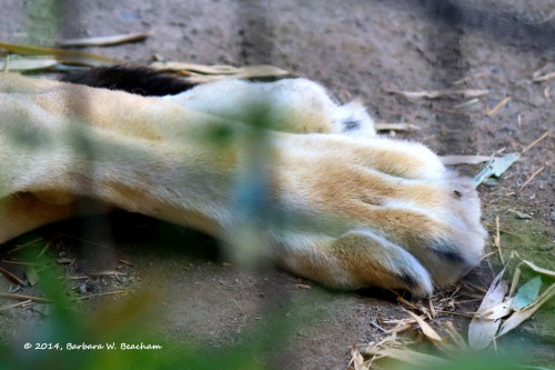 Pretty Feet of a Male Lion