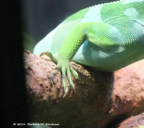 Pretty Feet of an Iguana