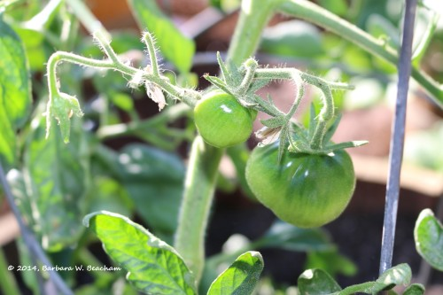 We have tomatoes!