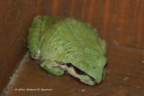 Green phase of the Pacific Chorus Frog