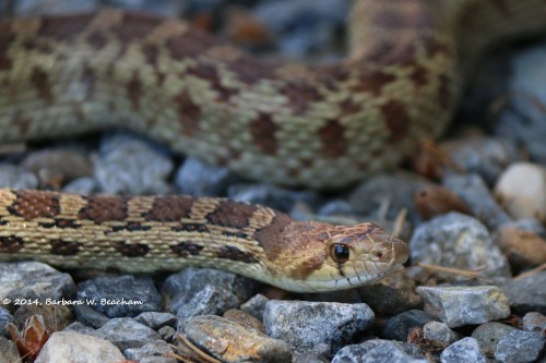 Gopher Snake on the rocks