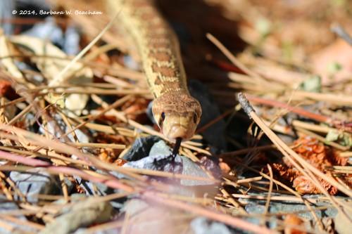 The Gopher Snake