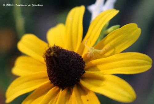 A visitor on a black-eyed Susan