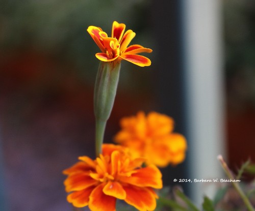 An emerging blossom
