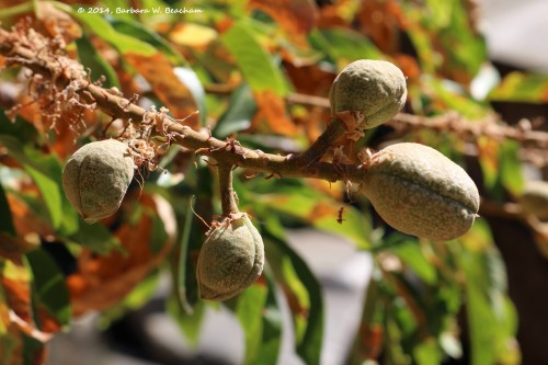 Developing Buckeye seed pods
