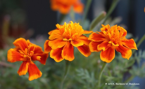Marigolds in the Morning!