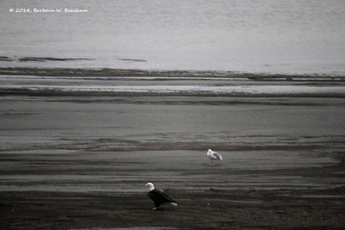 A seagull and a bald eagle