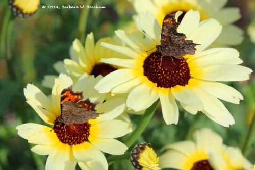 Brown underside of the wings