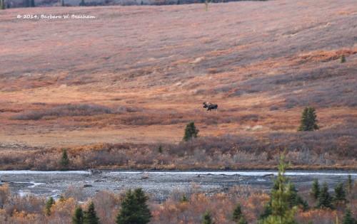 A lone male moose