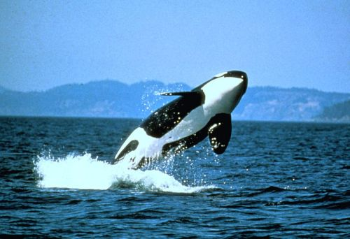 Orca - Photo from NOAA