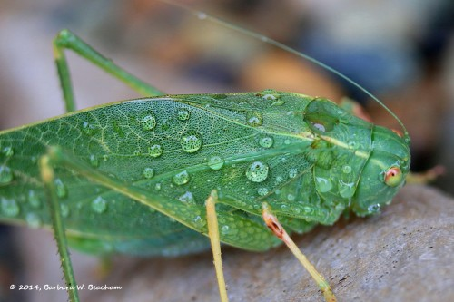 A green cricket