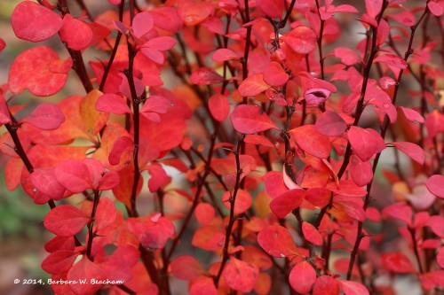 Barberry on fire!