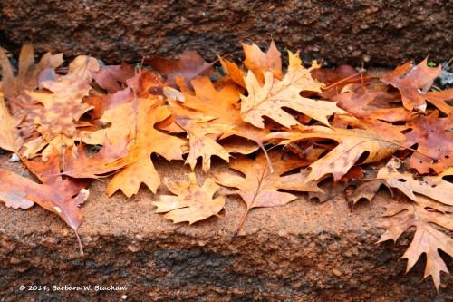 Fallen black oak leaves