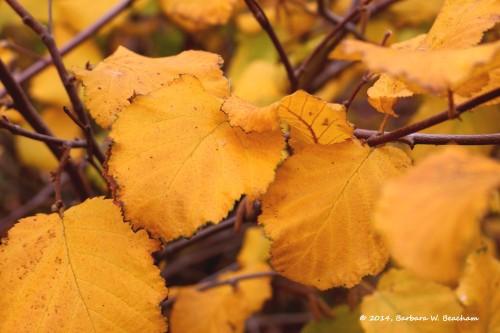 Golden hazel nut leaves