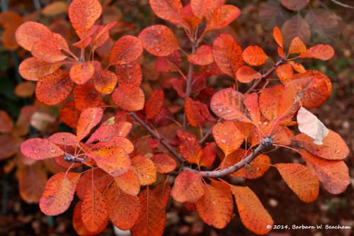The lovely colors on the smoke bush