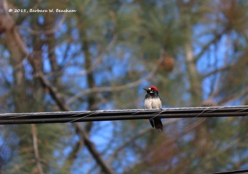 The Acorn Woodpecker