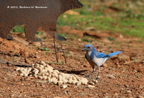 The Scrub Jay