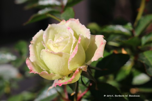 An early rose