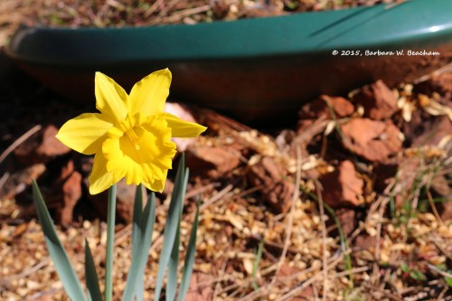 An open daffodil