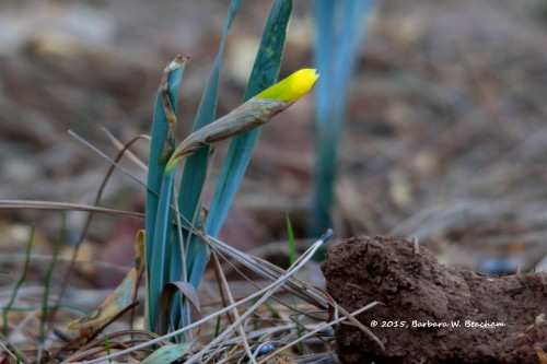 Daffodil opening up