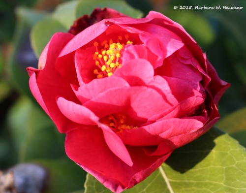 A lovely camellia