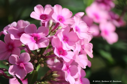 Pink clusters
