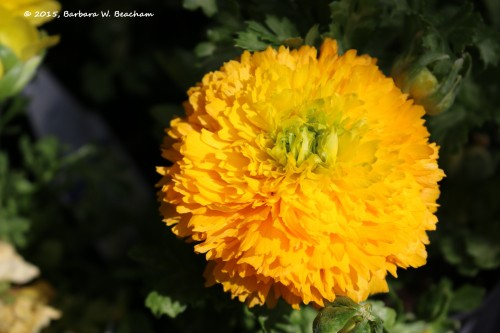 Taishan Orange Marigold