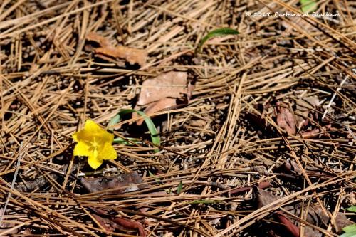 Yellow star tulip