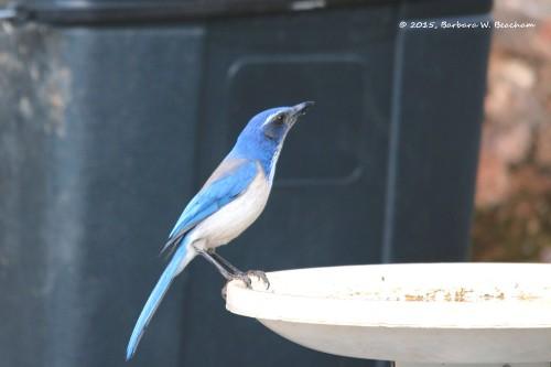 A scrub jay at the bird bath