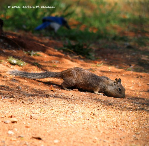 The Ground Squirrel